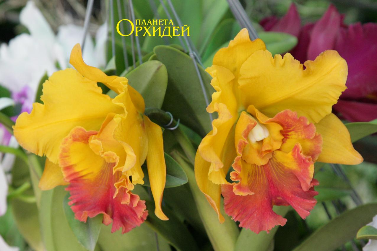 Уход за цветами дома - Орхидея