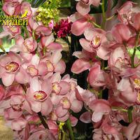 фото орхидеи  Цимбидиум
