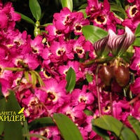 Dendrobium nobile hybridalt