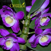 орхидея Дендробиум благородный гибридный