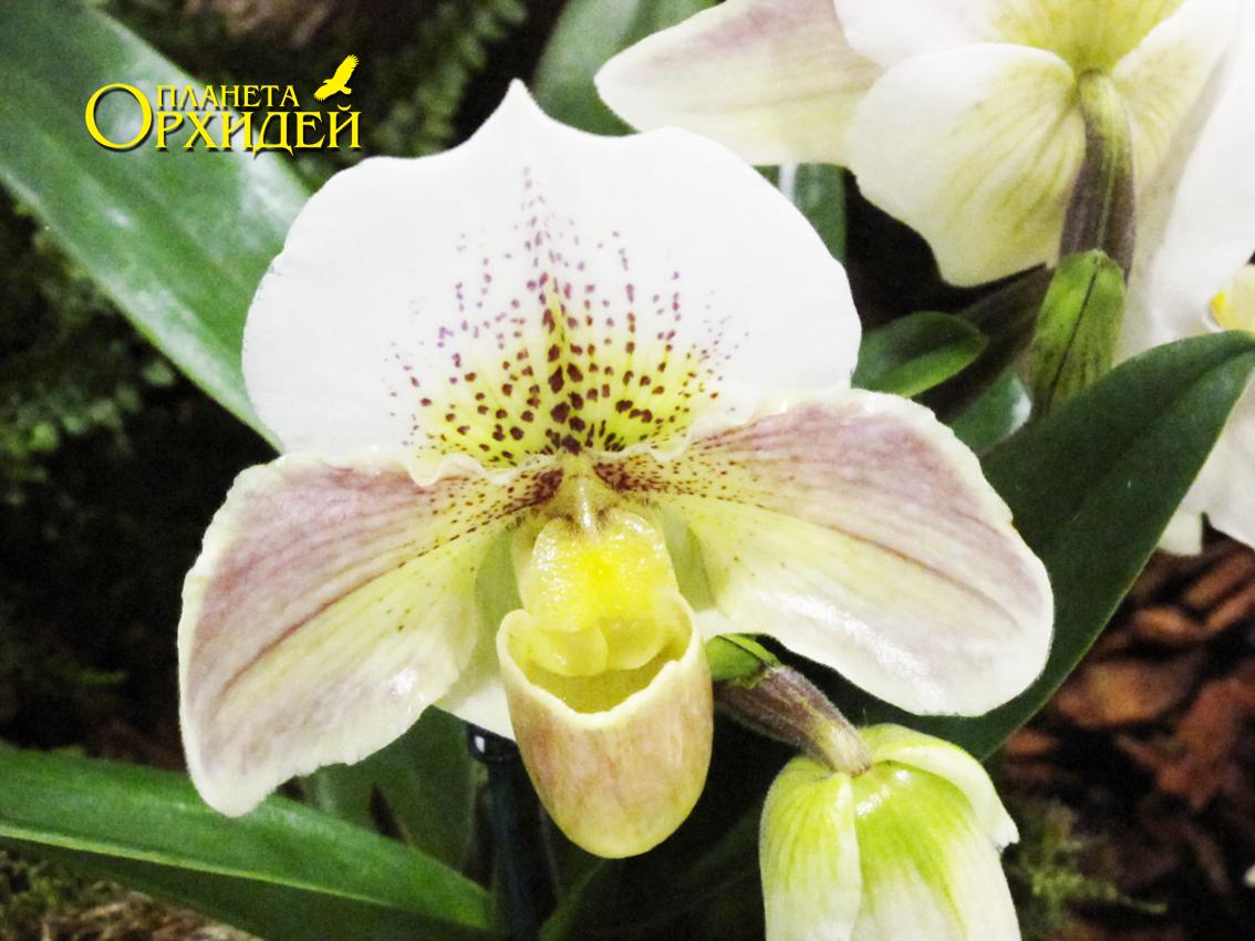 Уход за орхидеями-башмачками в домашних условиях