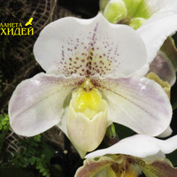 фото орхидеи Башмачок