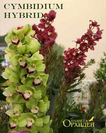 http://www.plor.ru/Vyrashivanie/Pokupka/cymbidium_sm.jpg
