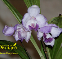 Aganisia cyanea