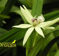 Anacheilium baculus