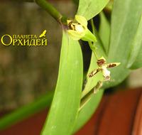 Anacheilium spondiadum