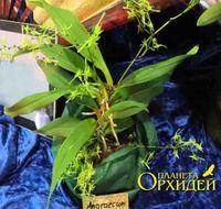 Angraecum calceolus