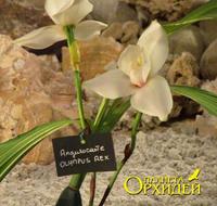 Angulocaste Olympus Rex