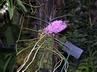 Ascocentrum christensonianum